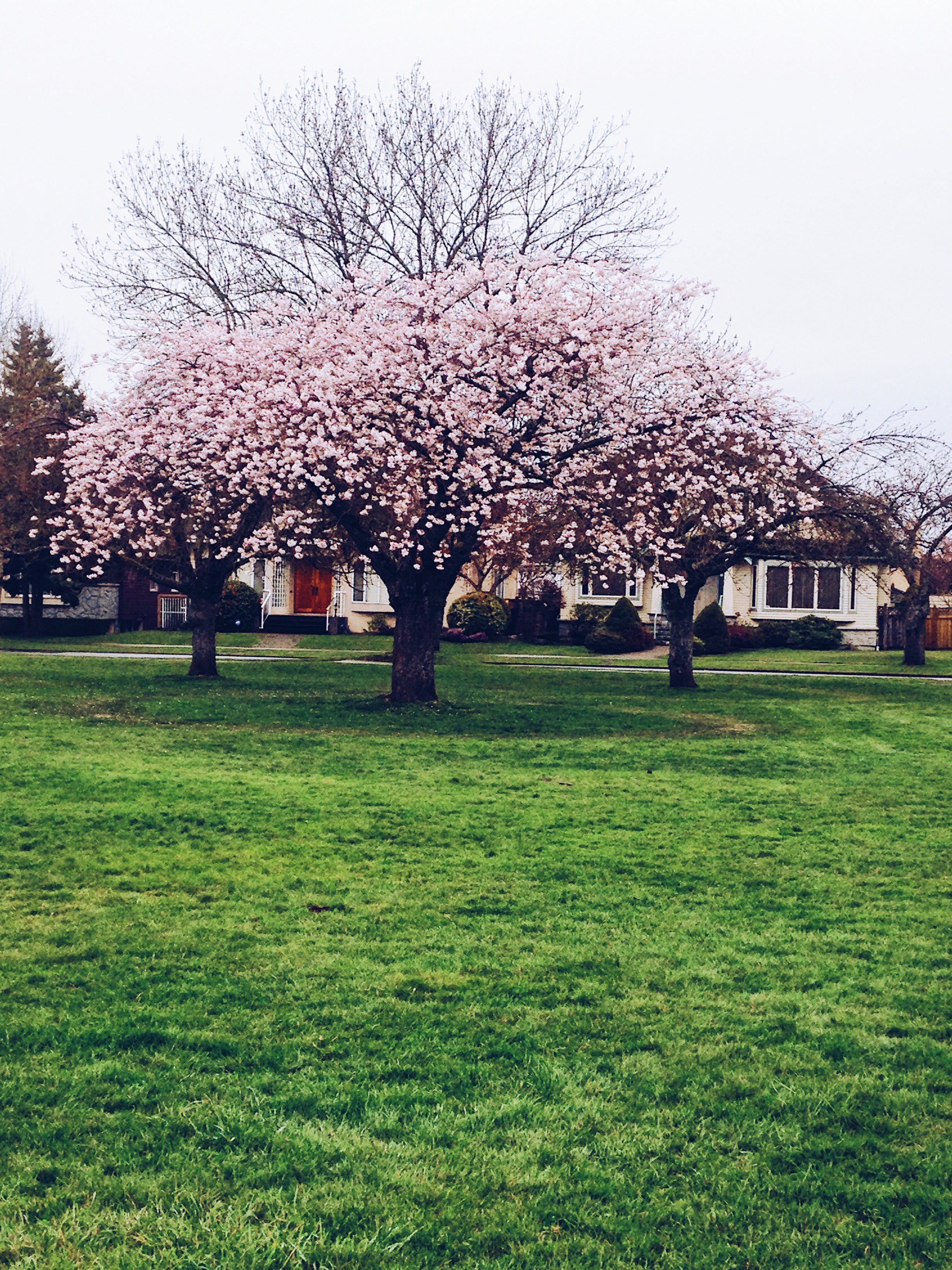 It's Cherry Blossom Season In Vancouver Again
