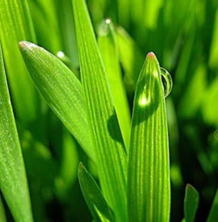 image of wheatgrass