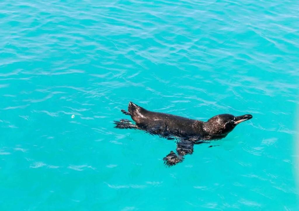 penguin swimming on Isla Isabela Galapagos Islands