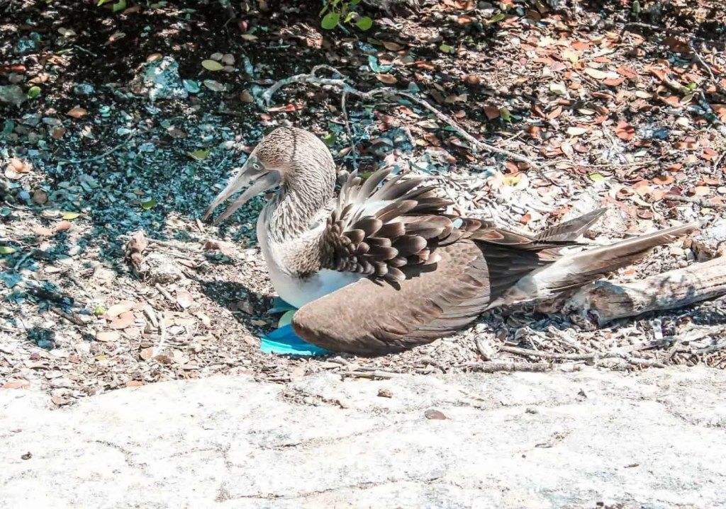 Blue Footed Boobie with Two Eggs