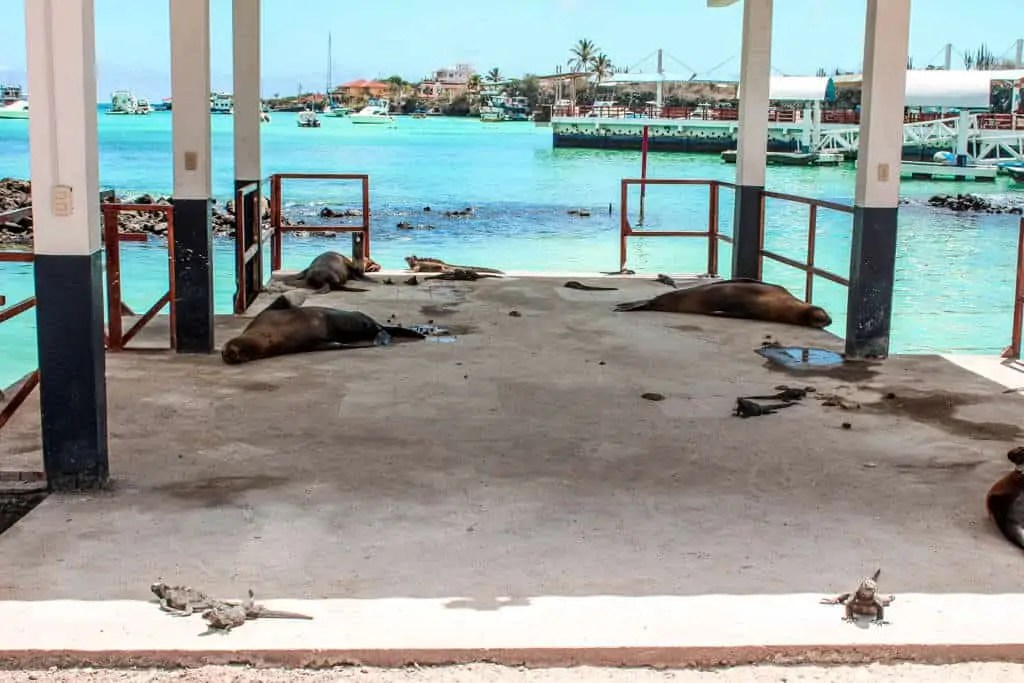 Sea lions and iguanas resting on the Galapagos Islands