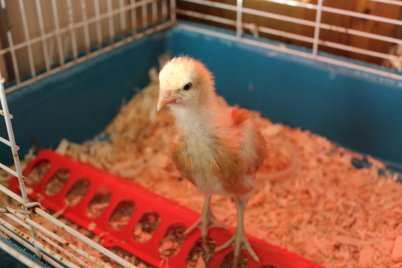 3 week old chicks, so fluffy and cute!