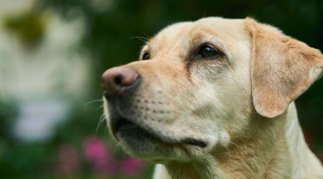 8 Awesome things you need to know about your Labrador dog