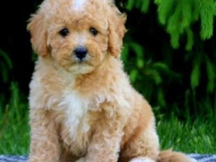 How to Find Miniature Poodles for Sale Near Me?