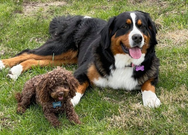 Checklist to Buy Mini Bernedoodles Puppies