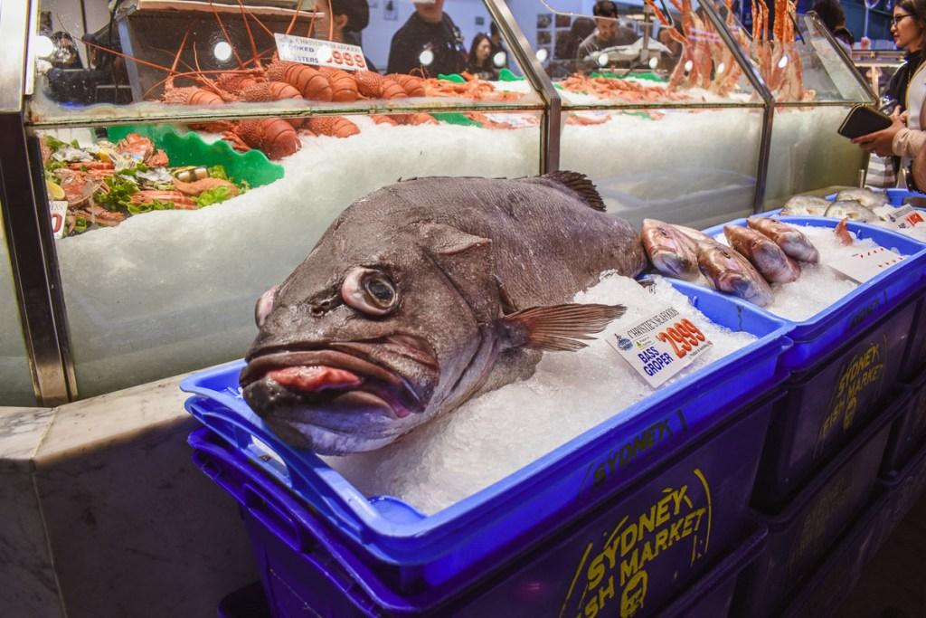 bass groper at the sydney fish market