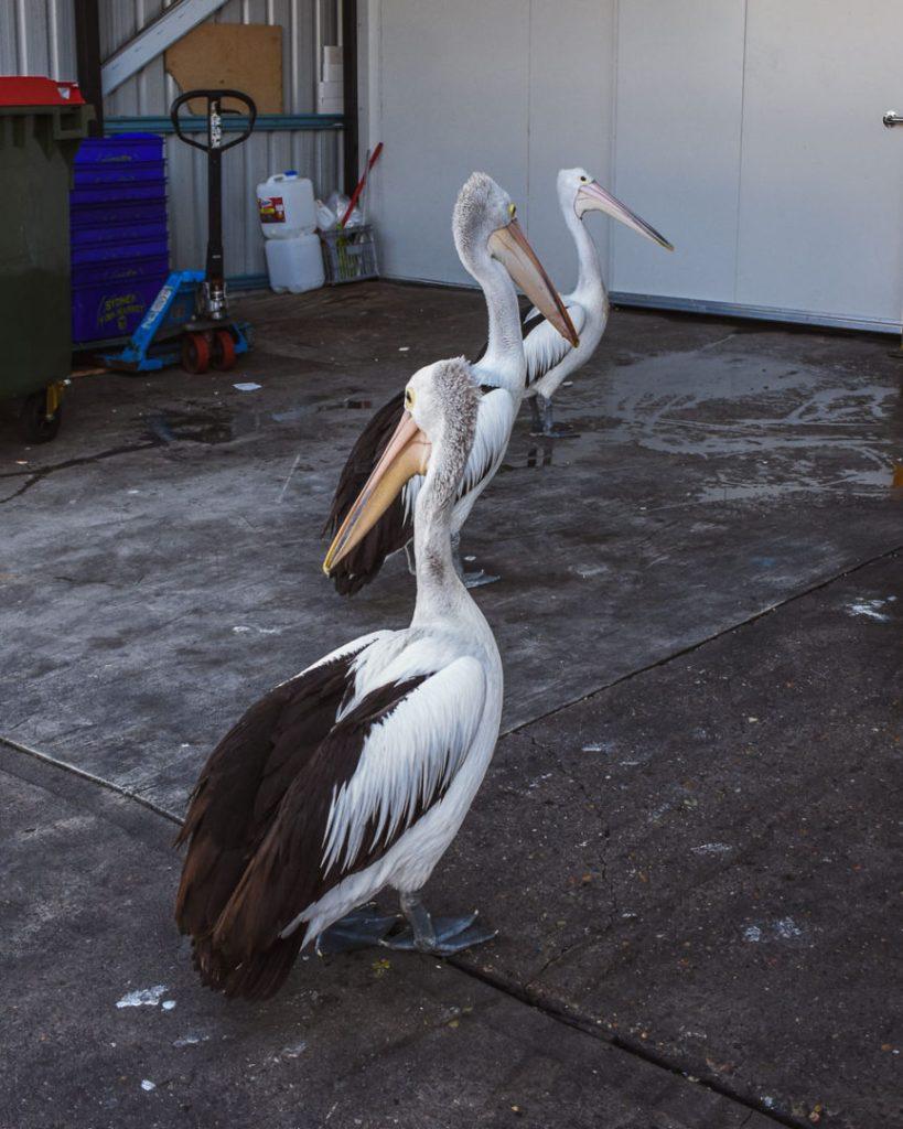 3 pelicans at the fish market
