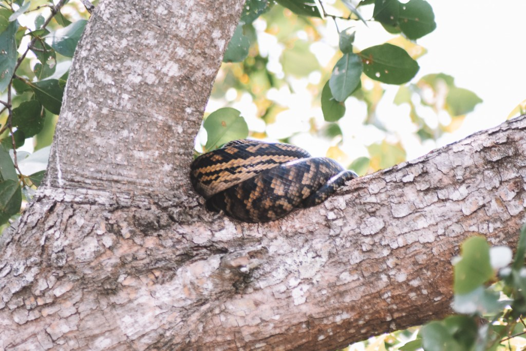 Snake on the Daintree river tree