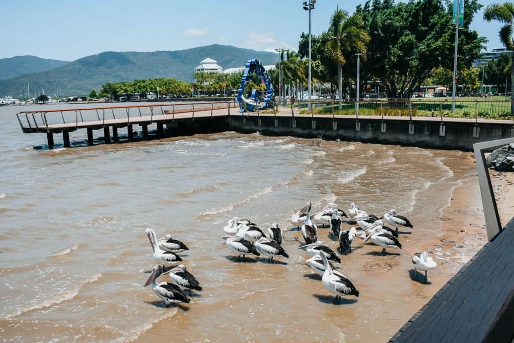 Pelicans in the ocean in Cairns