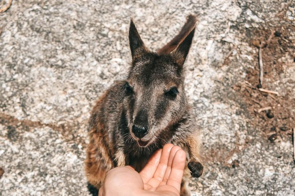 feeding rock wallaby at Granite Gorge Nature Park