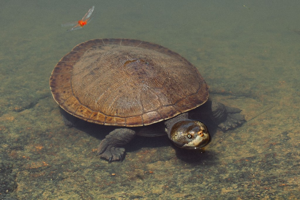 turtle at giant turtle pool at granite gorge