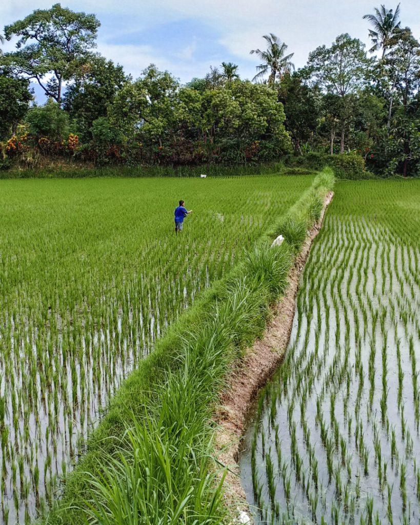 Munduk Drive Bali Ricefield