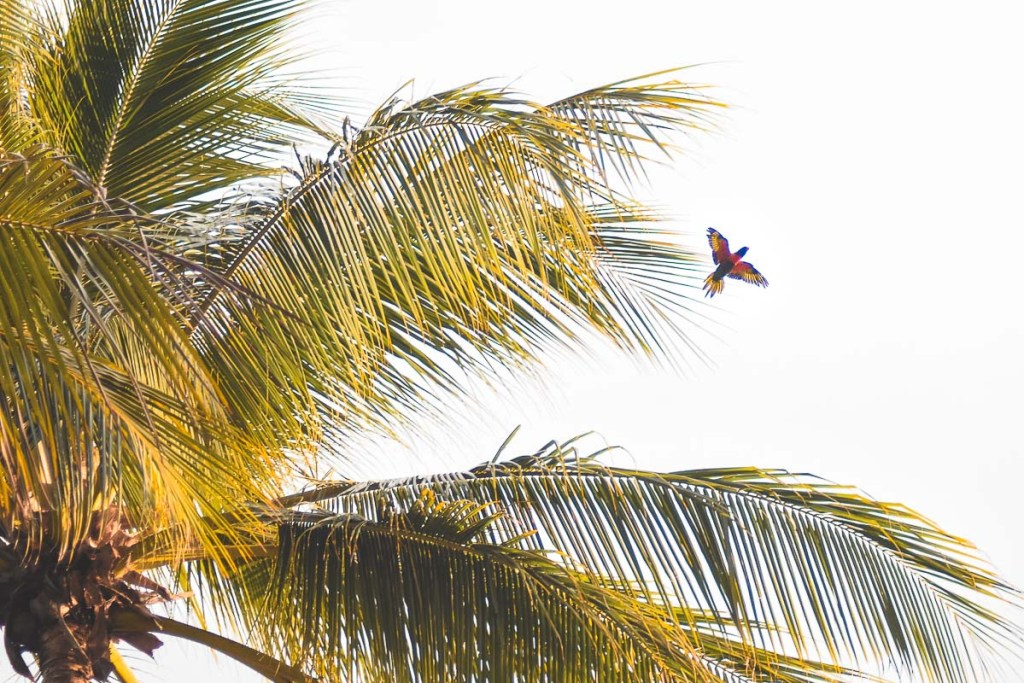 Flying colourful parrot through palm tree leaves in Port Douglas