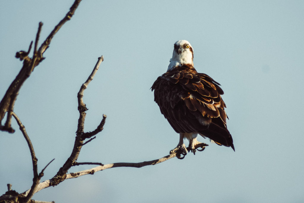 sea eagles on a branch at hells gate