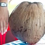 Biggest Coconut