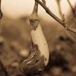 Rotten Solanum Melongena ( Eggplant )