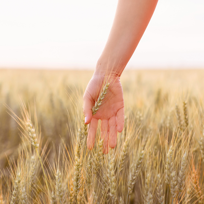 August 2019 Soundtrack | Hand touching wheat in a Canadian wheat field in Wheatland County, Alberta at Sunset | A Canadian Field of Wheat at Golden Hour | Calgary, Alberta, Canada Lifestyle and Fashion Blogger, Justine Celina Maguire | JustineCelina.com