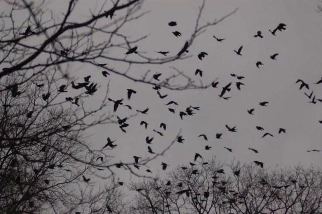 murder_of_crows
