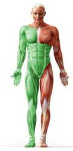 Figure 2.The trained muscle are marked green
