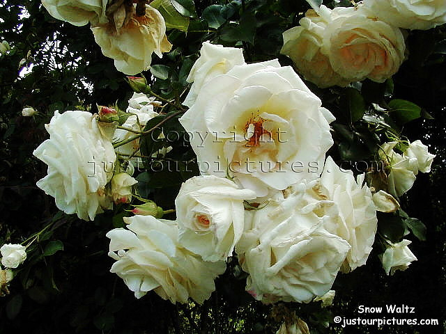 Just our Pictures of Roses  Snow Waltz  rose picture