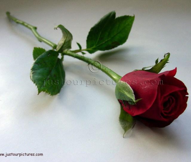 Red Rose Bud On Stem