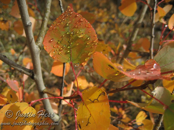 This was taken on the Finch Lake trail in the Wild Basin area of Rocky Mountain National Park after a thunder-snow-storm left water droplets on the aspen leaves.
