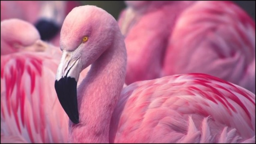 Why We Love Pink Flamingos