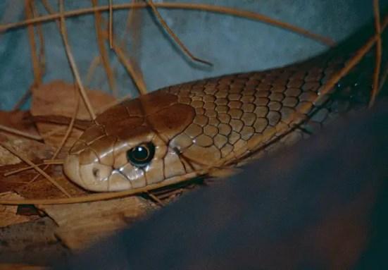 Eastern brown snake - common brown snake