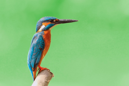 Kingfisher - Bird