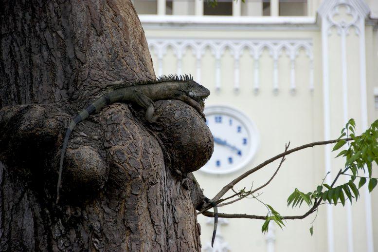 leguaan in Parque Iguana in het hart van Guayaquil