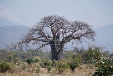 Terug bij de baobabs