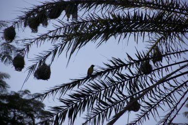 Wever vogelnestjes