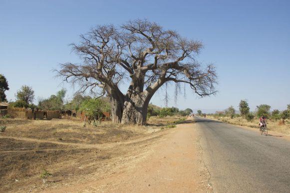 Veel baobabs op dit stuk van de route