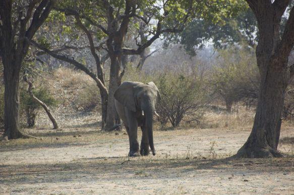 Onze eerste olifant in Malawi