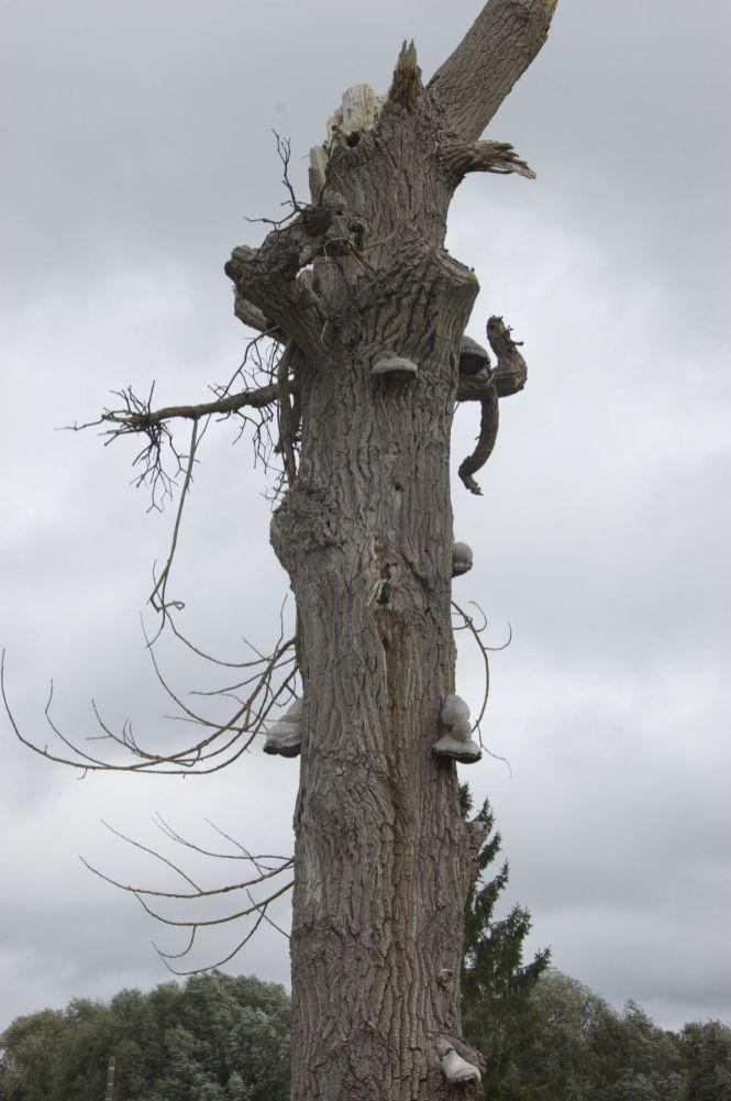 Dode boom met paddenstoelen langs de weg