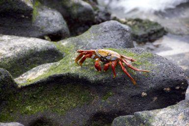 Sally Lightfoot Crab (vernoemd naar een nachtclubdanseres)