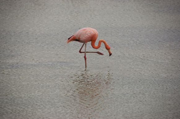 de flamingo's doen mooie dansje voor ons
