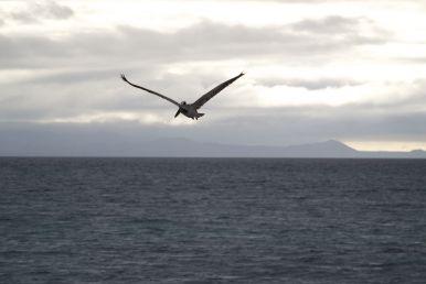 Wat een enorme vogels zijn dat toch pelikanen. En zulke mooie 'vingers' aan het eind van de vleugels
