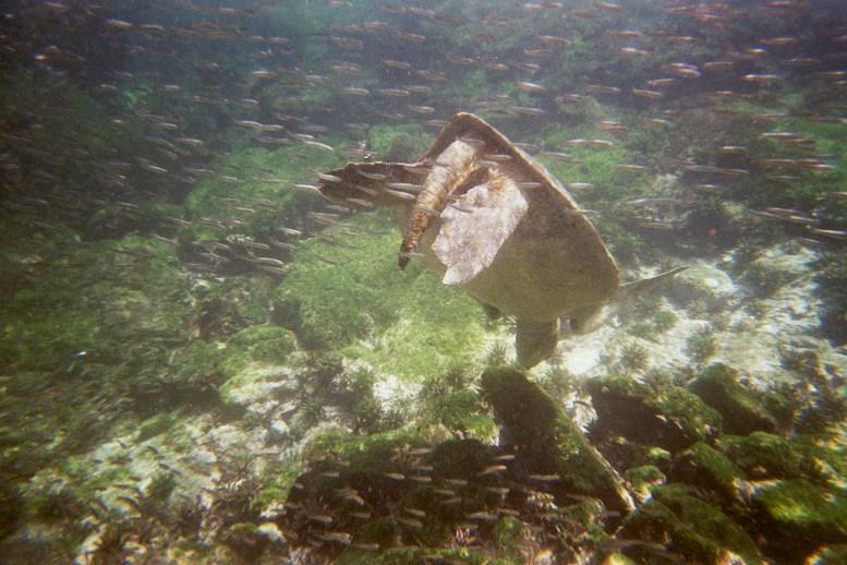 zeeschildpad bij Genovesa