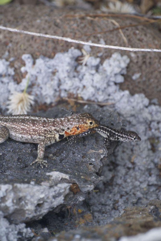 lava lizard eat een andere lava lizard
