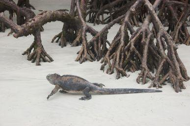 leguan op strand met mangrove