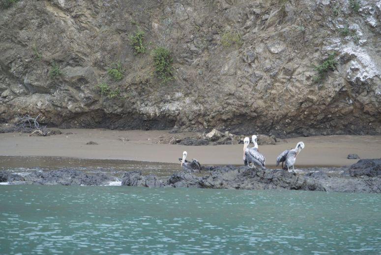 pelikanen Isla de la Plata