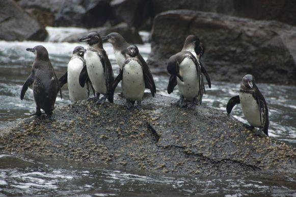 pinguïns! Wat zijn ze toch leuk. De enige op het noordelijk halfrond levende pinguïns, buiten de dierentuin uiteraard.