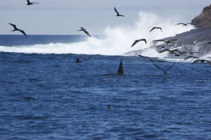 De grote hoeveelheid vogels boven een stukje zee verraadt de aanwezigheid van orka's