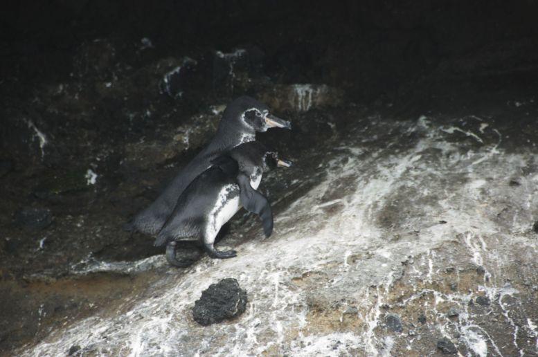 Deze 2 pinguïns hebben ons uitgebreid getoond dat ze hard aan het werk zijn om niet uitgestorven te raken.