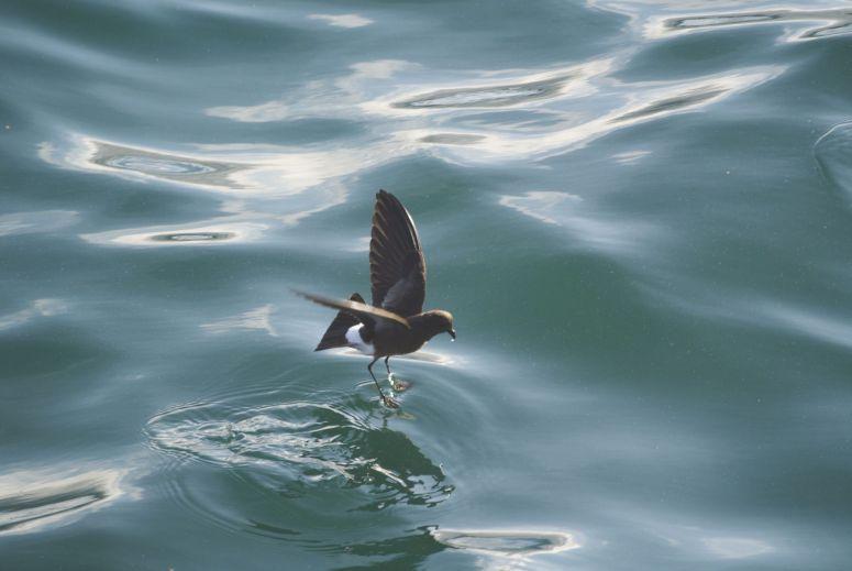 Petrel 'lopend' op het water