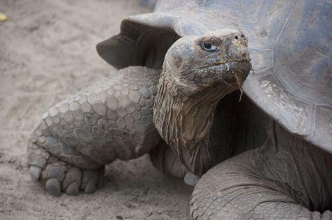 reuzeschildpad