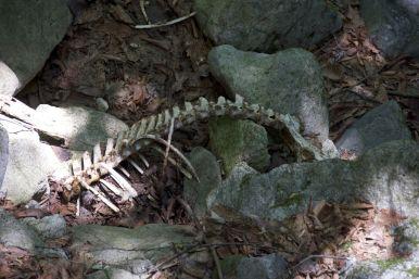 Onder een bruggetje zien we een flinke ruggengraat liggen. Geen idee van wat voor beest het is, maar klein was ie niet.
