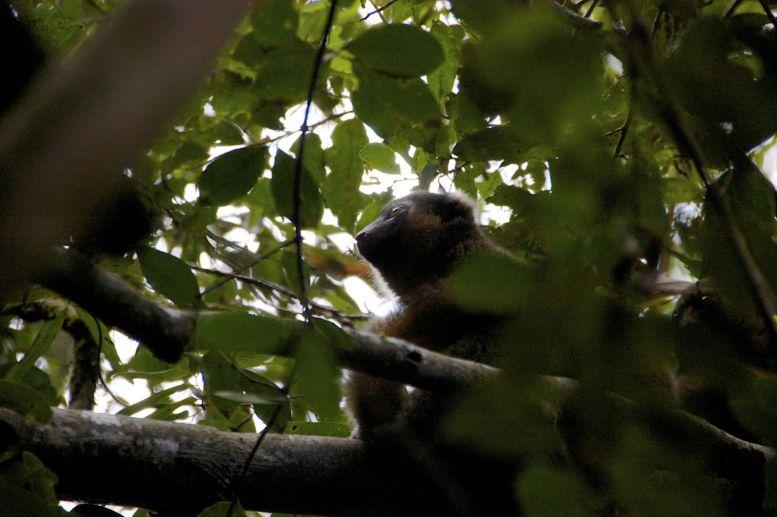 De troep lemuren die we tegenkomen zit behoorlijk hoog in de bomen, maar tussen de bladeren door kunnen we ze toch redelijk goed zien.