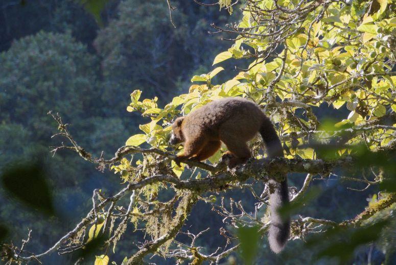 Waarschijnlijk dezelfde groep lemuren die gisteren langs de camping kwam.